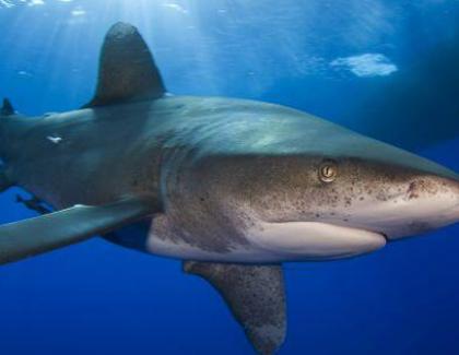 College's Shark Experts Present at Sharks International Symposium