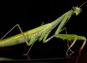 mantis-embed