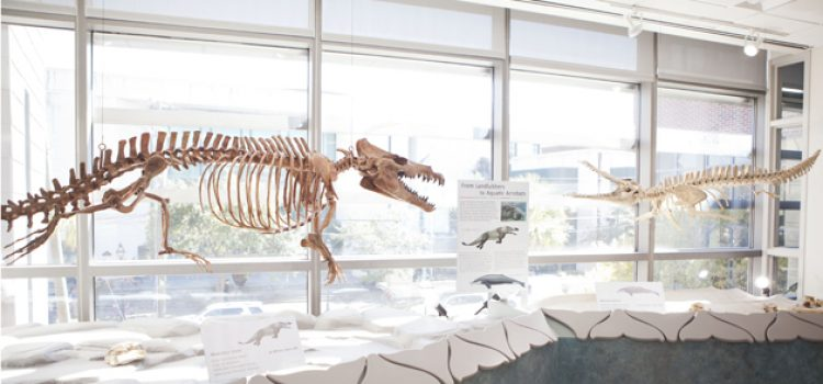 """Mace Brown Museum of Natural History Opens """"Evolution of Whales"""" Exhibit"""