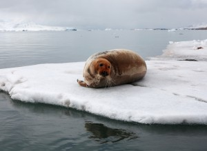 A red bearded seal on an ice floe.