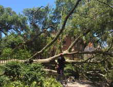 Fallen Cistern Oak to Get New Life as Art