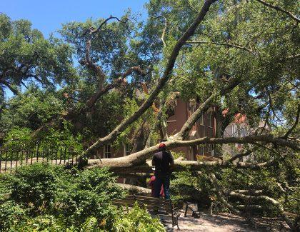 Fallen Cistern Oak to Get New Life as Art
