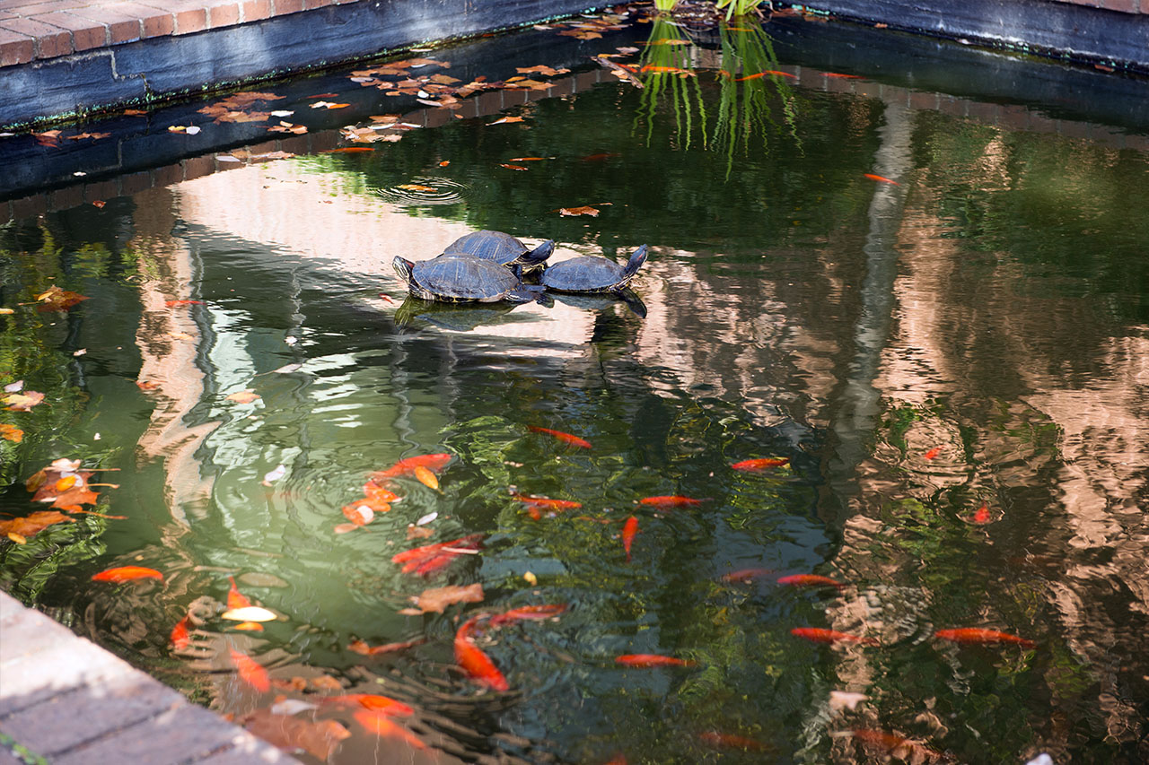 The 7 most romantic places on the college of charleston campus for Koi pool garden centre