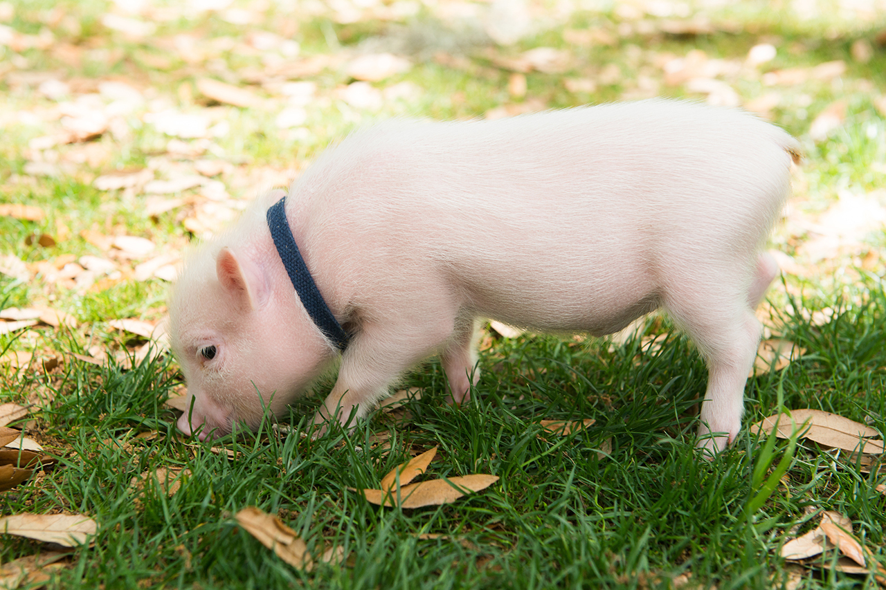 Oliver the piglet sniffs around the Cistern Yard in mid April