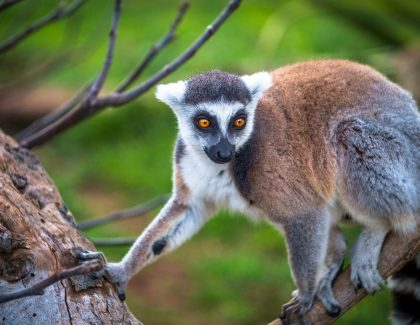 Professor's Research Shows Potential Effects of Lemur Extinction