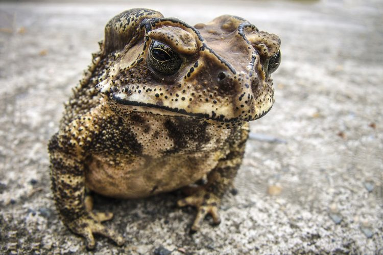 Common Pain Reliever Could be a Headache for Toads