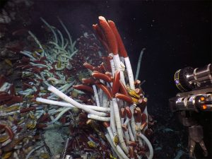 Tube worms photographed during a dive on the Alvin.