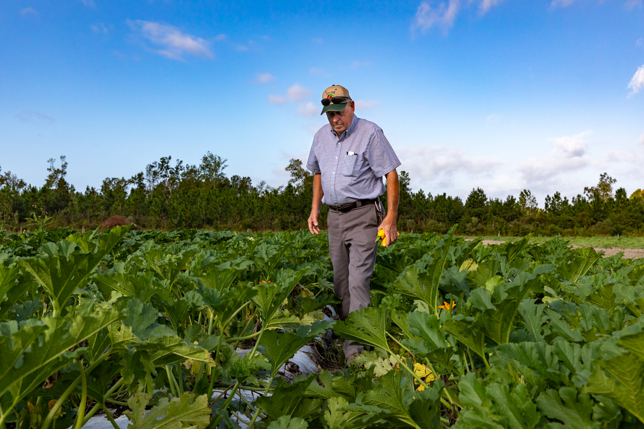 Walter Earley gathers zucchini squash from his field at Hickory Bluff Berry Farm.