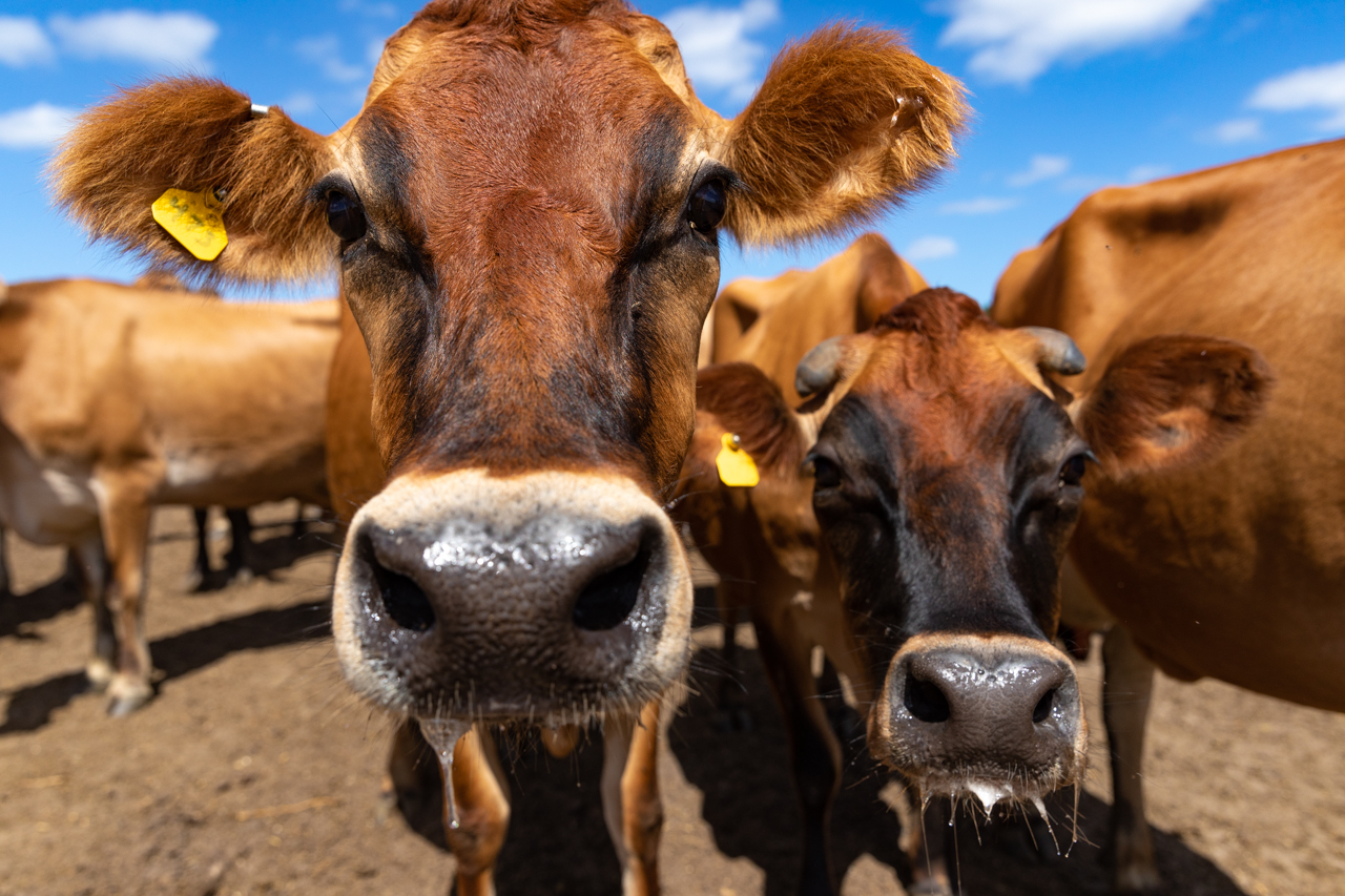 A few of the jearsey cows from Lowcountry Creamery come closer to the camera to see what it's all about.