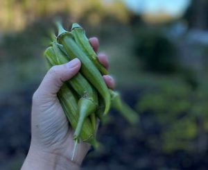 okra harvested from the student garden at stono preserve