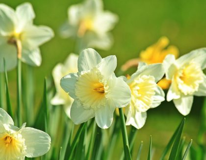 Jewish Student Union Remembers Holocaust with Daffodil Project