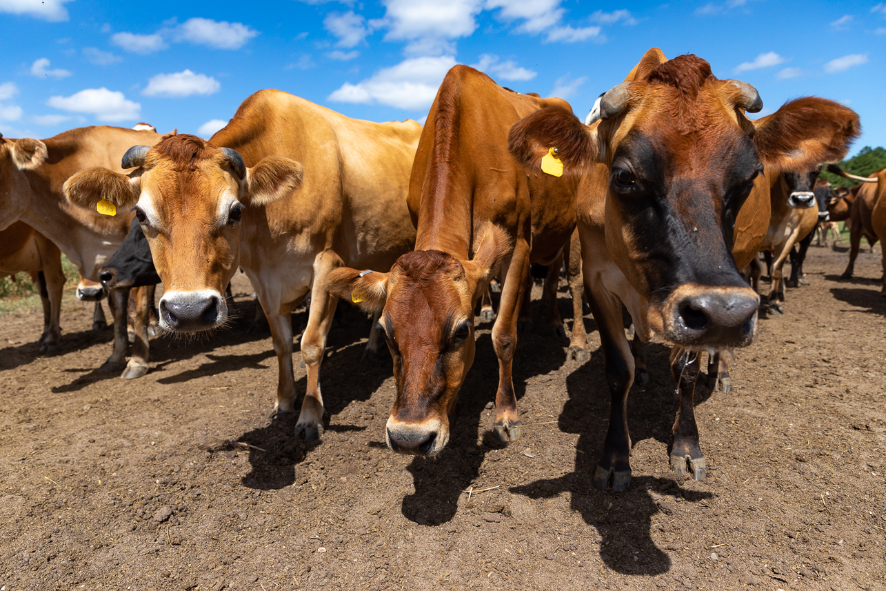 The jersey cows of Lowcountry Creamery.