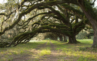 oak trees at stono preserve