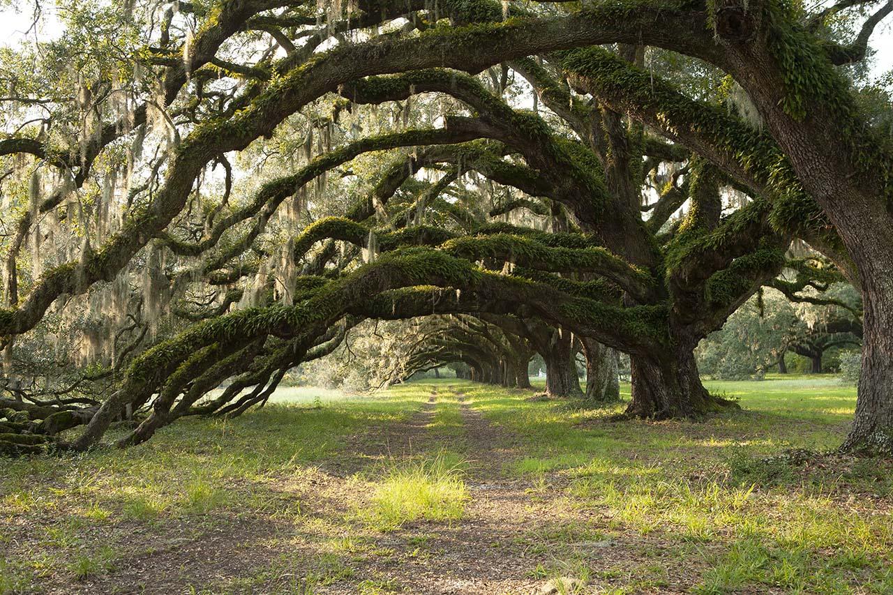oak trees at stono preserve