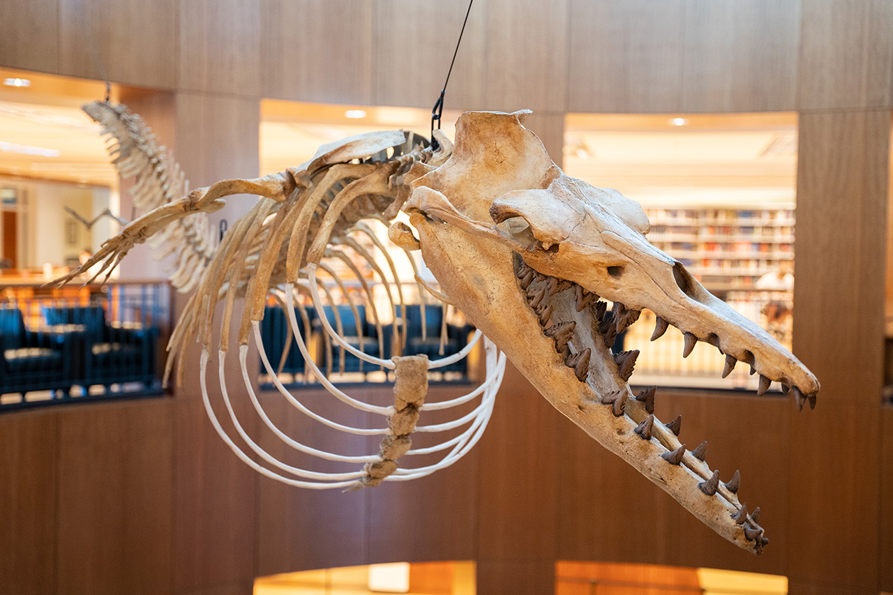A dorudon skeleton on display at Addlestone Library, College of Charleston.