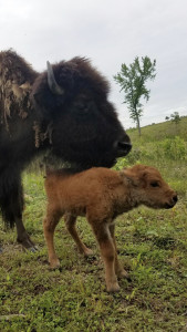Baby on Southern Bison Ranch