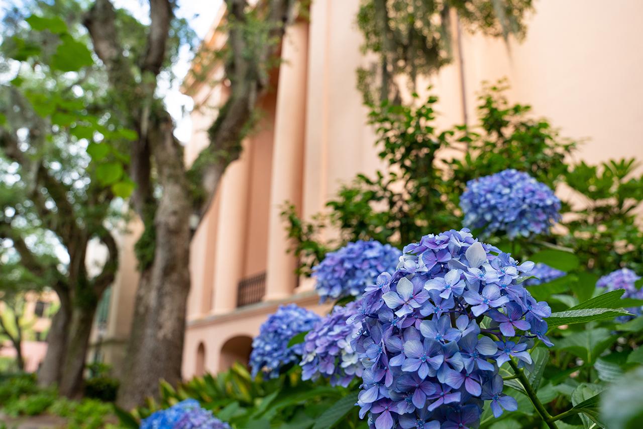 hydrangea in front of Randolph Hall